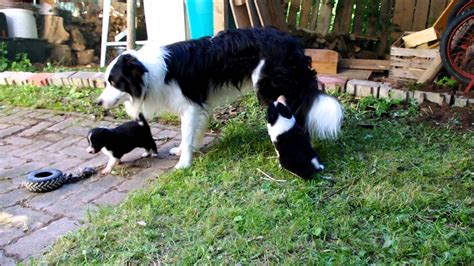 border collie puppies indiana cutest border collie puppies in the world