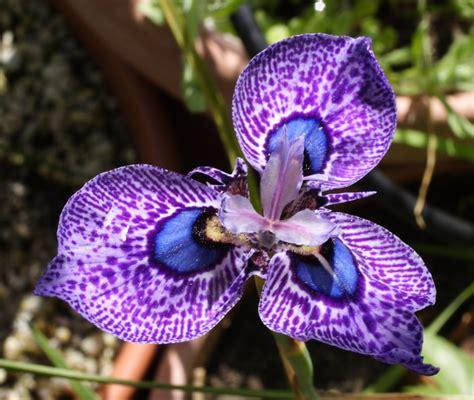 cool small palnts to grow growing cool plants moraea zoe