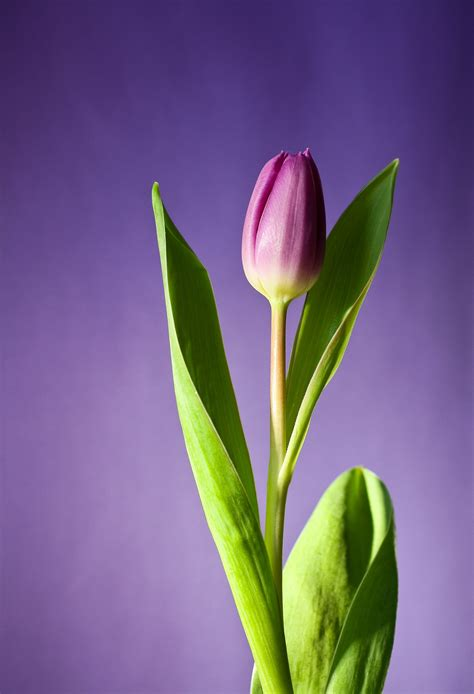 imagenes de flores solitarias caracter 237 sticas de los tulipanes rosas y tulipanes