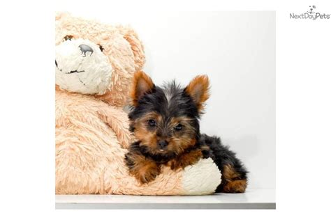 teacup yorkie for sale in ontario teacup maltese puppies for sale in toronto ontario breeds picture