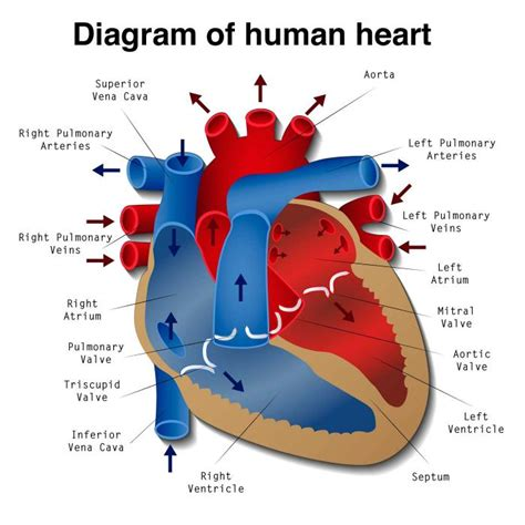 photo heart layout top view of the human heart diagram male models picture