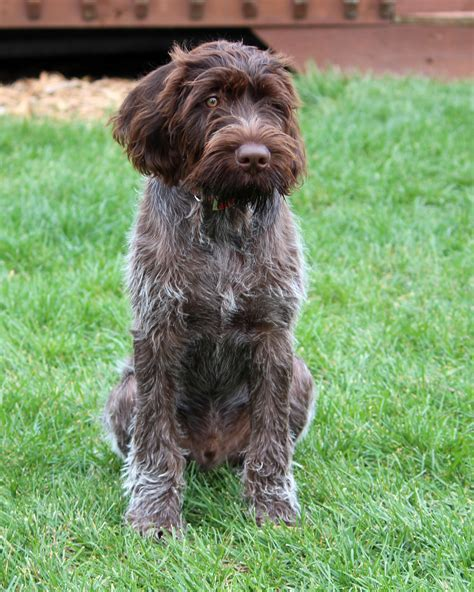 pointer puppy german wirehaired pointer info temperament puppies pictures