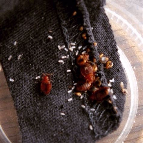 kill bed bug eggs what kills bed bug eggs 28 images how to kill bed bug