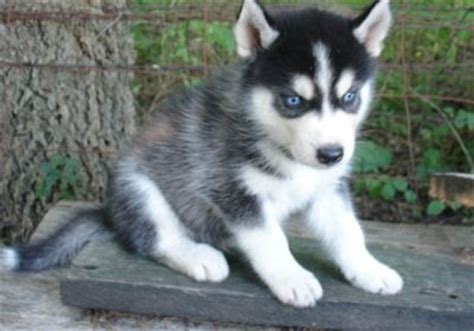 wolf husky puppies with blue eyes husky puppies with blue eyes pictures cute animals planet