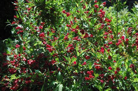 Arbustes Fleurs Rouges by Arbustes 171 Centre De Jardin Boutique Cadeau P 233 Pini 232 Re