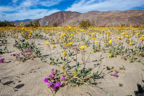desert flowers anza borrego wildflower bloom anza borrego desert sp see peter