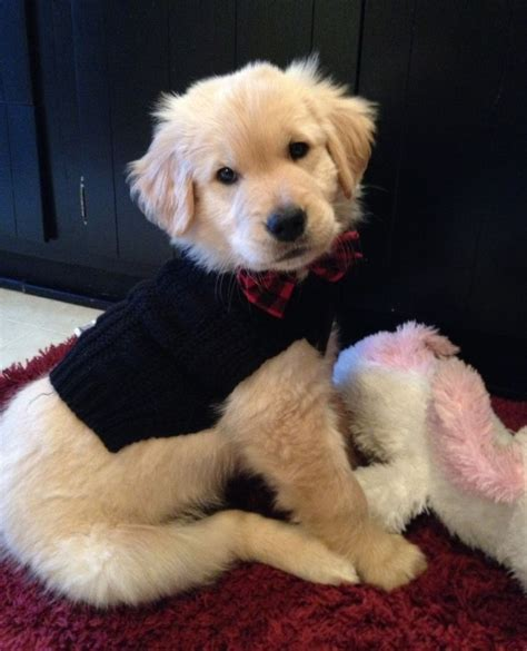golden retriever protects baby 3336 best adorable pets images on animals puppies and baby animals