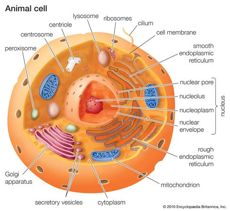 cross section animal cell human anatomy chart page 43 of 202 pictures of human