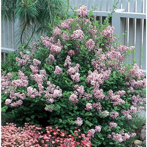 lilac flowering shrubs shop 8 gallon lavender korean lilac flowering shrub