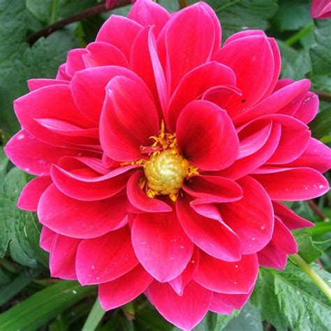 mexican national mexico national flower things based on mexican culture dahlias flower