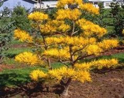 Royal Garden Gold Scrub witch hazel hamamelis x intermedia arnold s promise