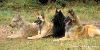 belgian sheepdog information 4 types belgian sheepdogs jpg