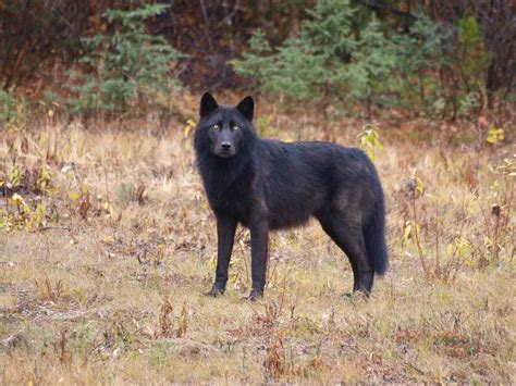 Eastern Coyote Morphology Withywindle Nature Books Black Wolf American
