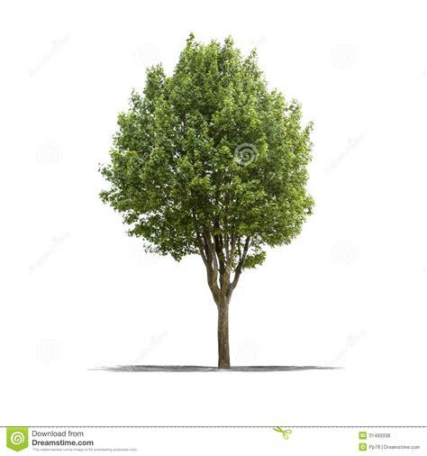 white or green tree green tree on a white background royalty free stock photos