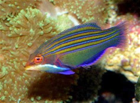 bird wrasse aquatic veterinary services of northern salt water fish photos only at feldman s aquarium