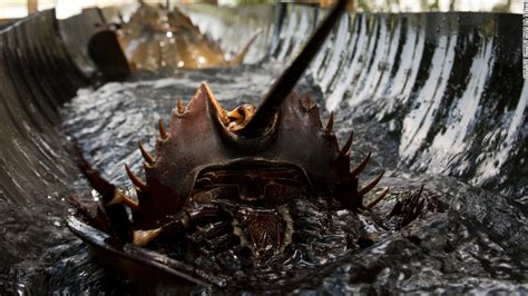 what color is horseshoe crab blood why this crab s blood could save your cnn