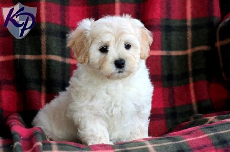 white maltipoo puppies 1000 ideas about maltipoo puppies on teacup maltipoo maltese poodle and