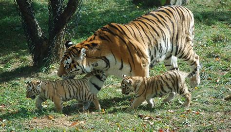 tiger 3 act a 0230475477 siberian tiger population declines
