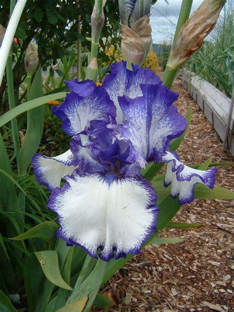 bearded iris transplanting irises how to divide bearded irises to transplant