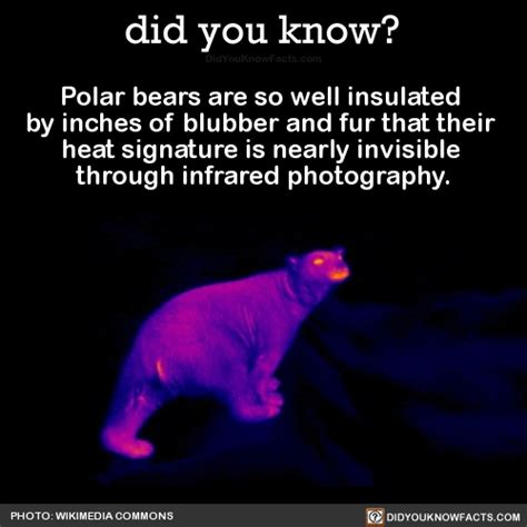 Did You Fact On Fendis Signature by Polar Bears Are So Well Insulated By Inches Of Did You