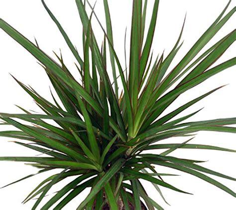 10 dracaena marginata braid 15 95 z plants the best compare price to red edged dracaena plant tragerlaw biz