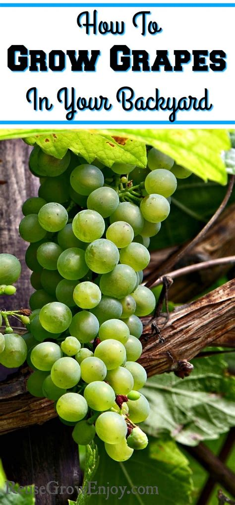 how to grow grapes in your backyard how to grow grapes in your backyard reuse grow enjoy