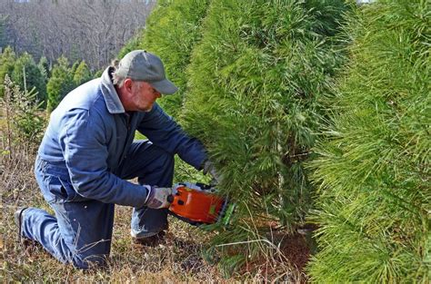 find the perfect christmas tree at a choose and cut farm