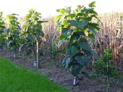 fruit trees for sale nz tamarillo edibles 174 bringing your garden