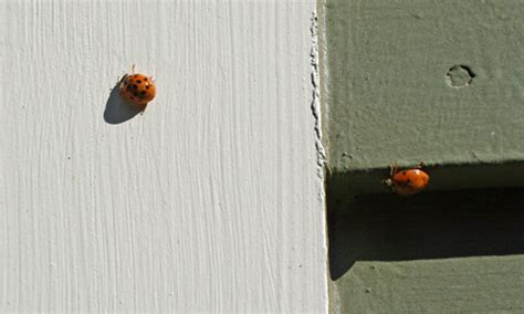 why are there so many ladybugs in my house why are there so many ladybugs in my house 28 images ladybugs luck professional