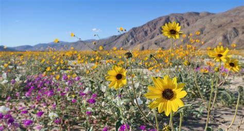 anza borrego flowers anza borrego desert state park review fodor s travel