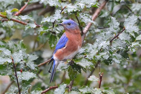 file eastern bluebird sialia sialis 16195664955 jpg