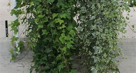 piante interno poca luce piante da appartamento poca luce piante appartamento