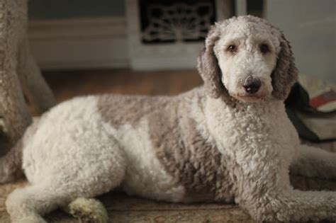 parti poodle lifespan oreo a year in the of a parti poodle