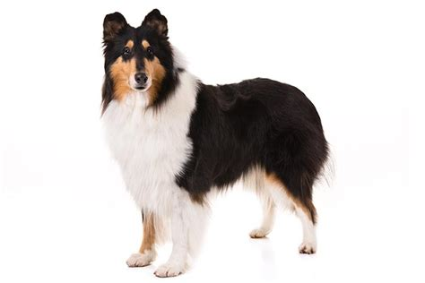 akc rules for giving a havanese a hair cut akc rules for giving a havanese a hair cut collie dog