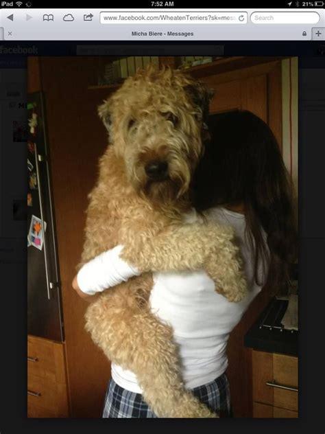 wheaten terrier puppies cost de 410 b 228 sta dogs hundar bilderna p 229 etsy och diabetes