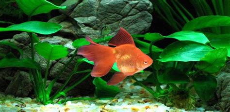 goldfish themes for windows 7 image gallery moving desktop themes