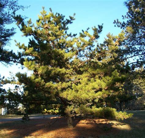 table mountain pine table mountain pine
