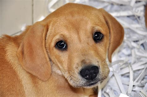 free labrador retriever puppies golden labrador retriever puppies 16 background dogbreedswallpapers
