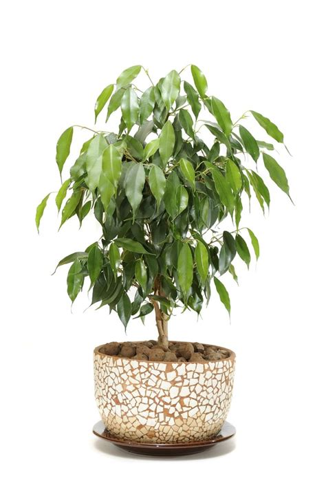 best indoor tree best 25 ficus tree ideas on pinterest plants have