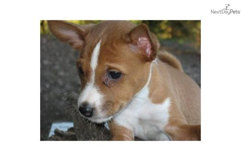 basenji puppies price basenji puppy for sale near east tx 3b0373a0 3c31