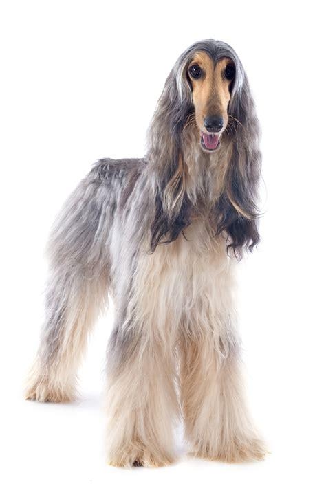 afghan breeds afghan hound breeds net