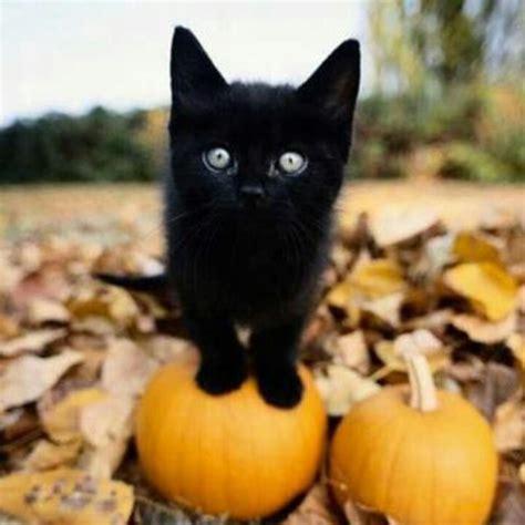 cat and pumpkin black cat and pumpkins