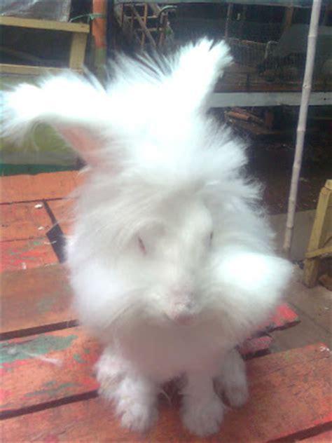 Jual Bibit Flemish kelinci