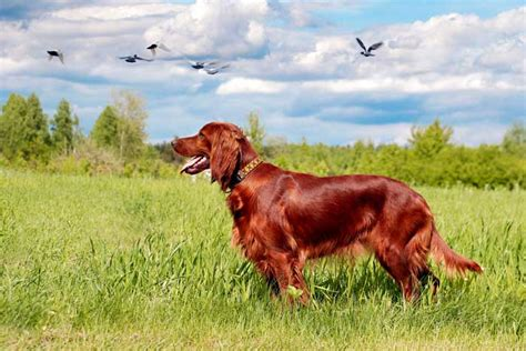 red setter gun dog 30 best hunting dogs gun dog breeds for all types of