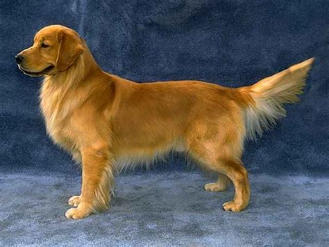 buzzed golden retriever golden retriever images katy perry buzz