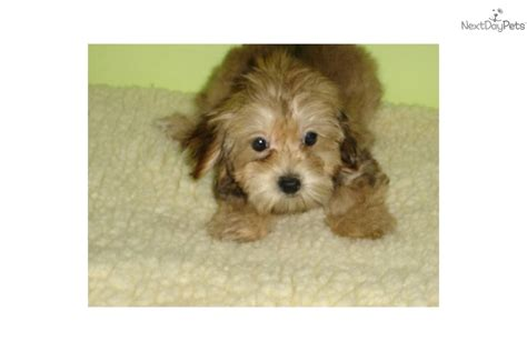 yorkie maltese mix puppies for sale in maryland miniature poodle puppies for sale in pa nj breeds picture
