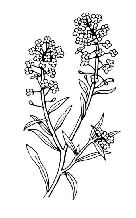 file alyssum 2 psf png wikimedia commons