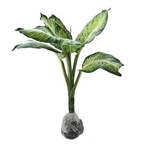 Aglaonema Widuri Bibit Tanaman Hias Daun Hidup Siap Kirim Bergaransi jual tanaman aglaonema anggun ayu bibit