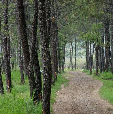 Pohon Juwet Bawang Tinggi 40 Cm tanaman pinus jual tanaman hias