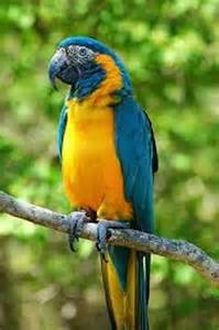 10 interesting macaw facts my interesting facts